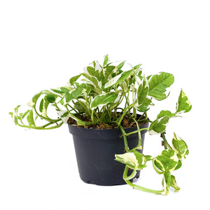 Pothos, 6in, Pearls & Jade - Floral Acres Greenhouse & Garden Centre