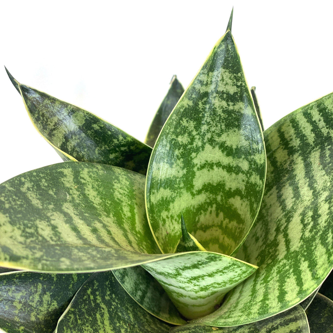 Sansevieria, 6in, Star Power, Forest Star - Floral Acres Greenhouse & Garden Centre