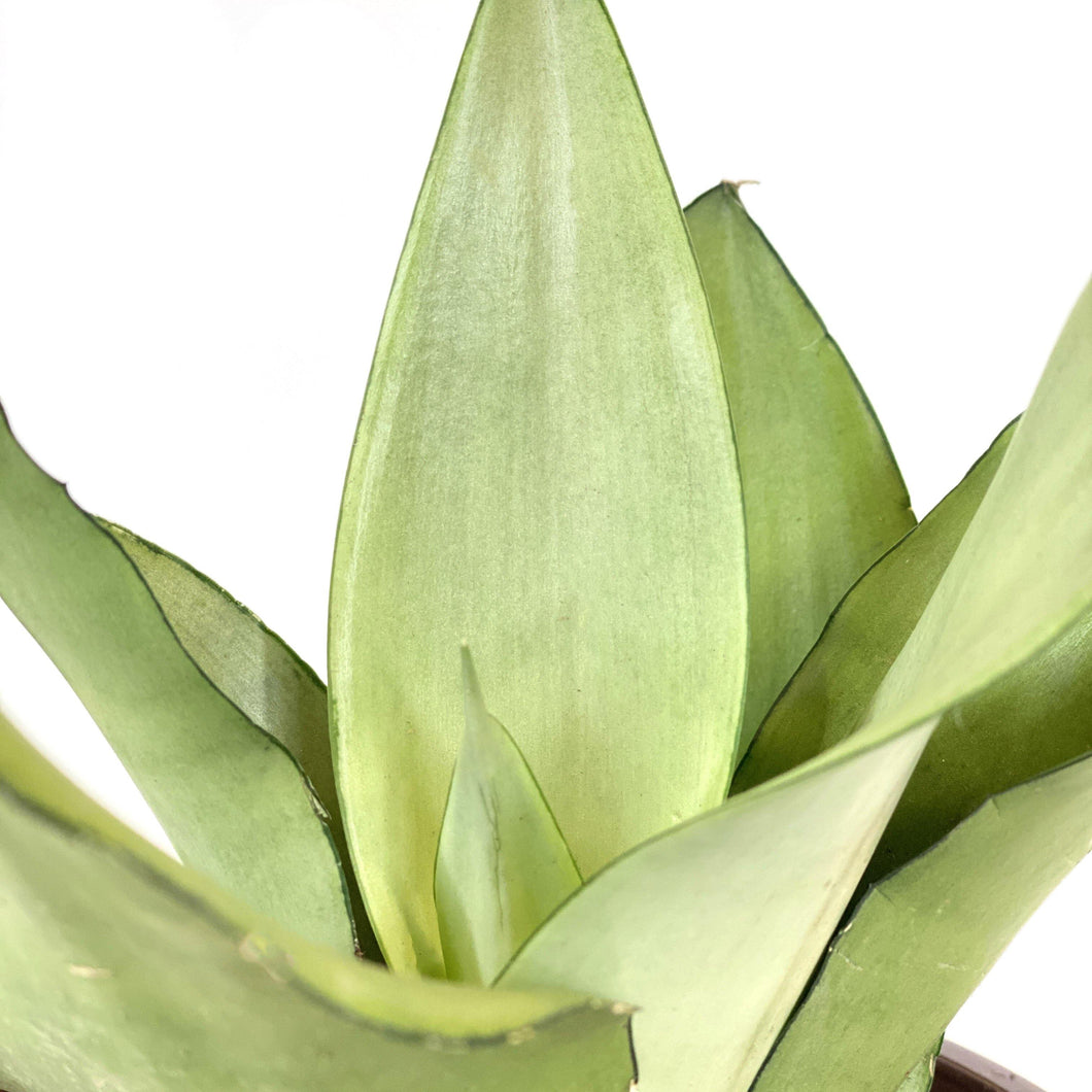 Sansevieria, 6in, Moonshine - Floral Acres Greenhouse & Garden Centre