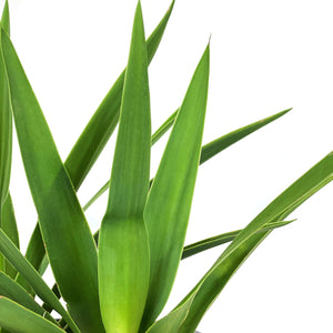 Yucca, 6in, Tips