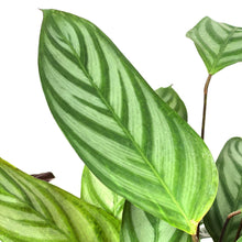 Load image into Gallery viewer, Calathea, 8in, Setosa - Floral Acres Greenhouse & Garden Centre