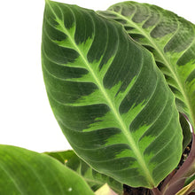 Load image into Gallery viewer, Calathea, 8in, Warscewiczii