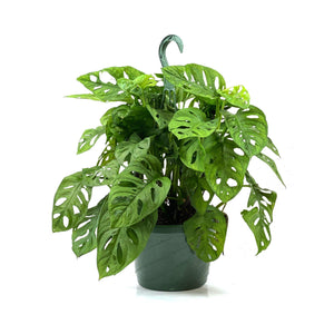 Philodendron, 8in, Swiss Cheese, Hanging Basket - Floral Acres Greenhouse & Garden Centre