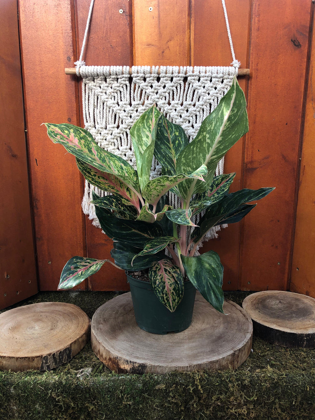 Aglaonema, 6in, Sparkling Sarah - Floral Acres Greenhouse & Garden Centre