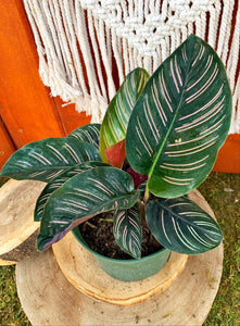 Calathea, 6in, Ornata