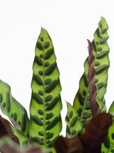Load image into Gallery viewer, Calathea, 6in, Lancifolia