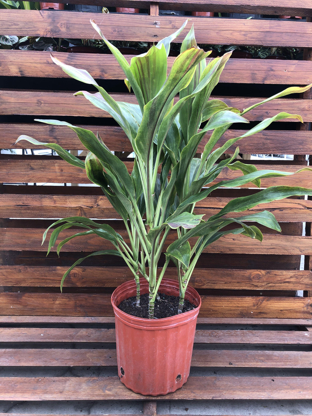 Cordyline, 10in, Sherbert - Floral Acres Greenhouse & Garden Centre