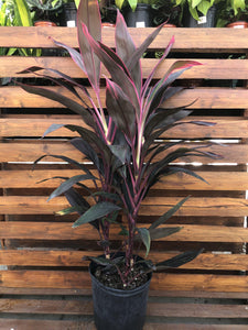 Cordyline, 10in, Red Sister - Floral Acres Greenhouse & Garden Centre