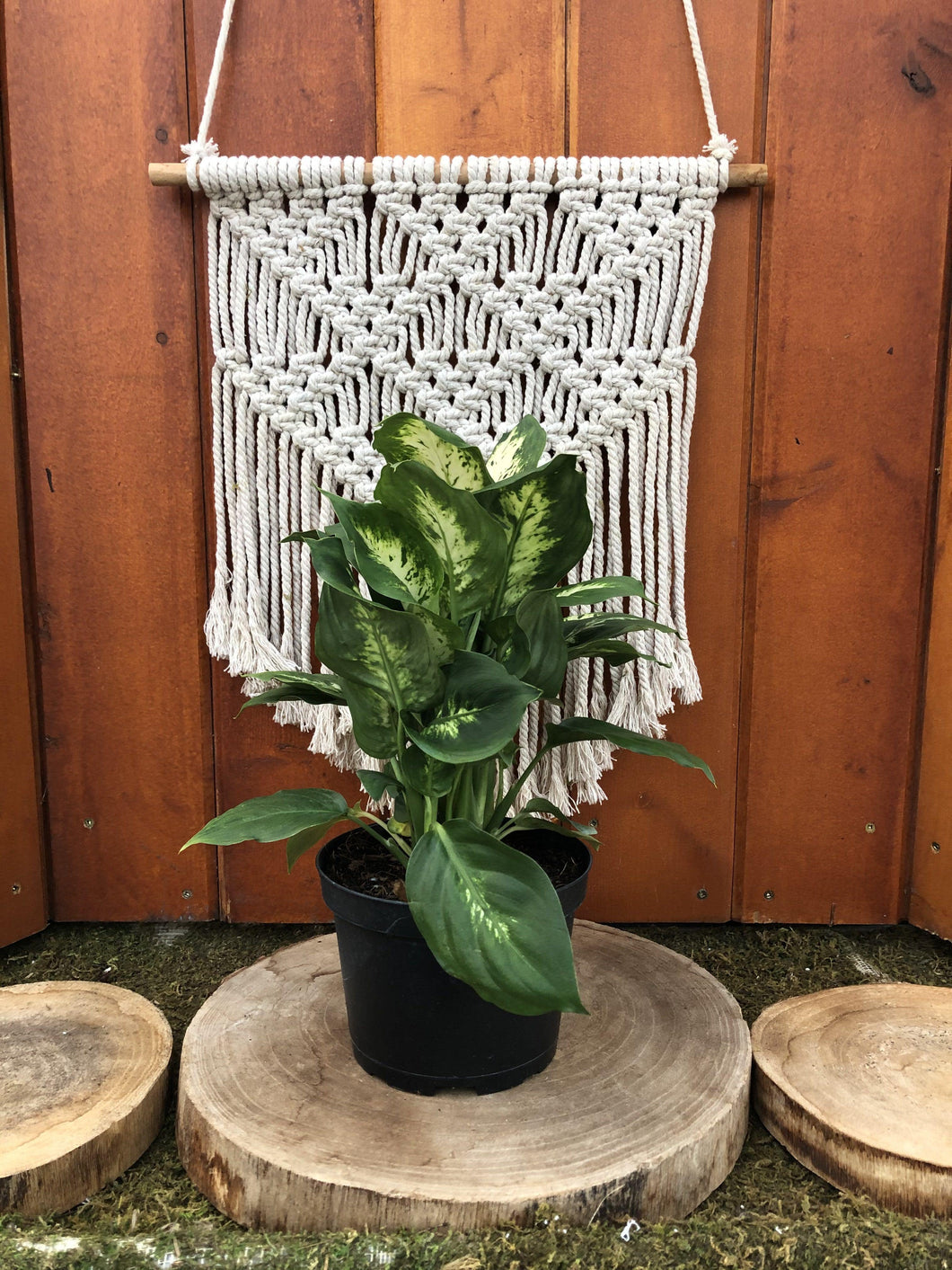 Dieffenbachia, 6in, Perfection Compacta - Floral Acres Greenhouse & Garden Centre