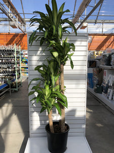 Dracaena, 14in, Mass Cane 5/4/3/2 - Floral Acres Greenhouse & Garden Centre