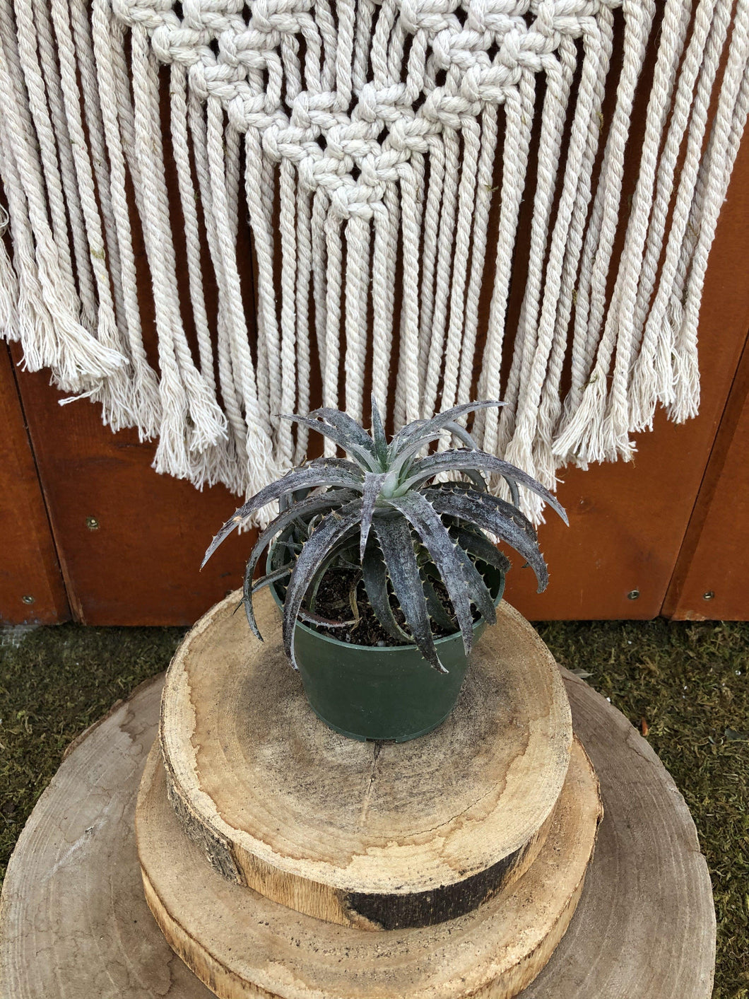 Dyckia, 4in, Dyckia Pale Ryder - Floral Acres Greenhouse & Garden Centre
