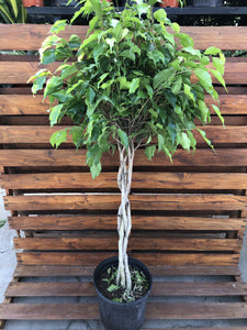 Ficus, 10in, Benjamina Braid - Floral Acres Greenhouse & Garden Centre