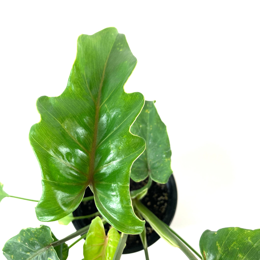 Philodendron, 4in, Xanadu