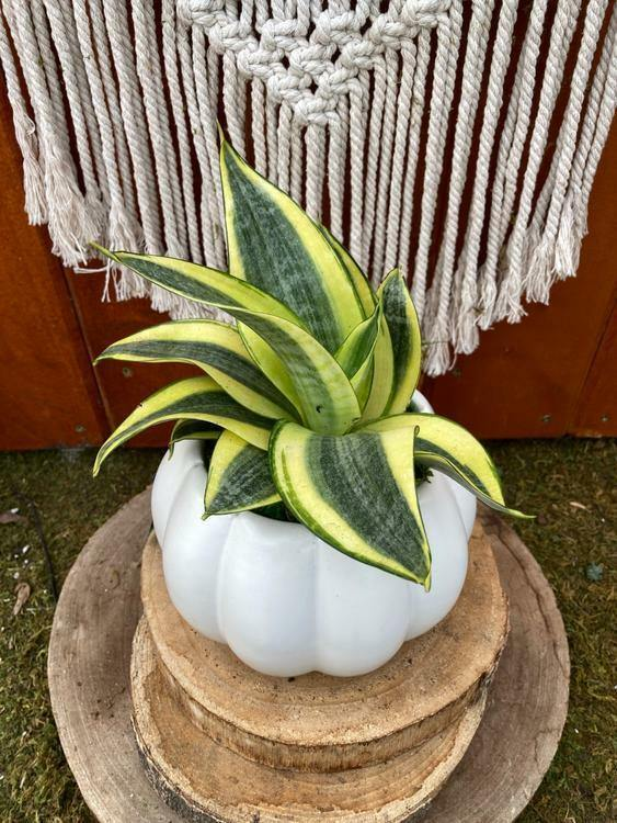 Sansevieria Planter, Abundance - Floral Acres Greenhouse & Garden Centre