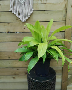 Dracaena, 8in, Limelight