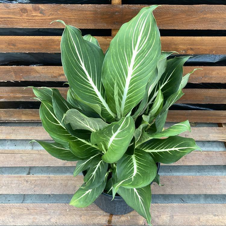 Dieffenbachia, 10in, Sterling - Floral Acres Greenhouse & Garden Centre