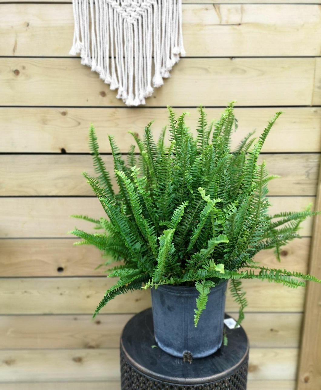 Fern, 10in, Kimberly - Floral Acres Greenhouse & Garden Centre