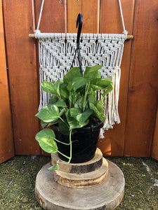 Pothos, 8in, Golden, Hanging Basket - Floral Acres Greenhouse & Garden Centre