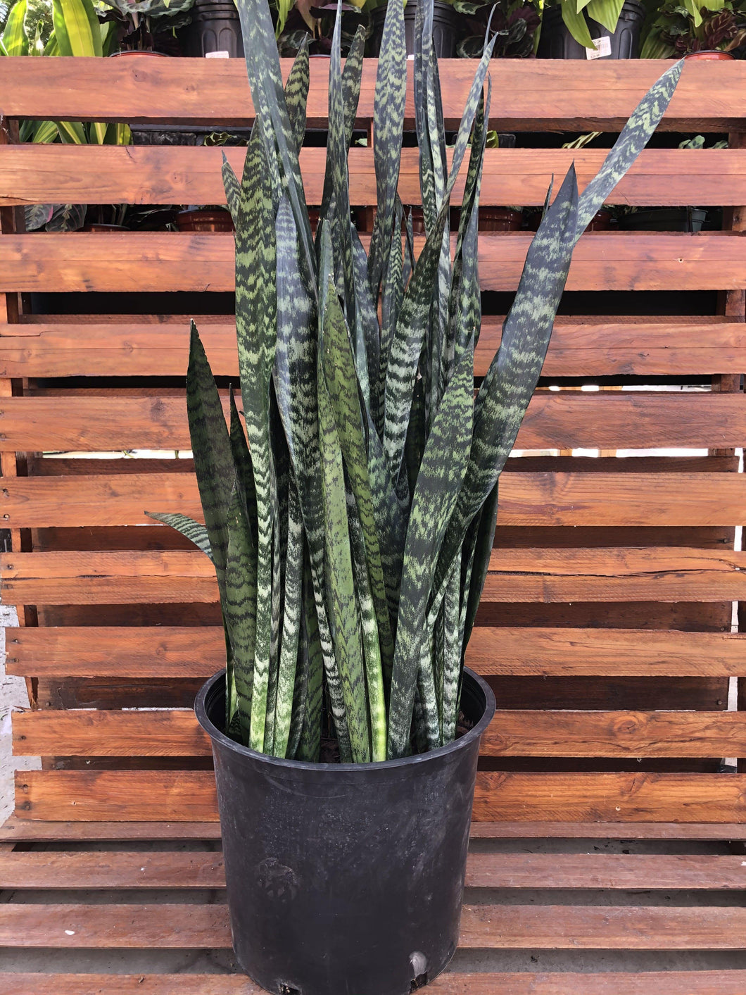 Sansevieria, 14in, Wintergreen - Floral Acres Greenhouse & Garden Centre