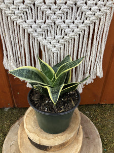 Sansevieria, 6in, Star Power, Ocean Star