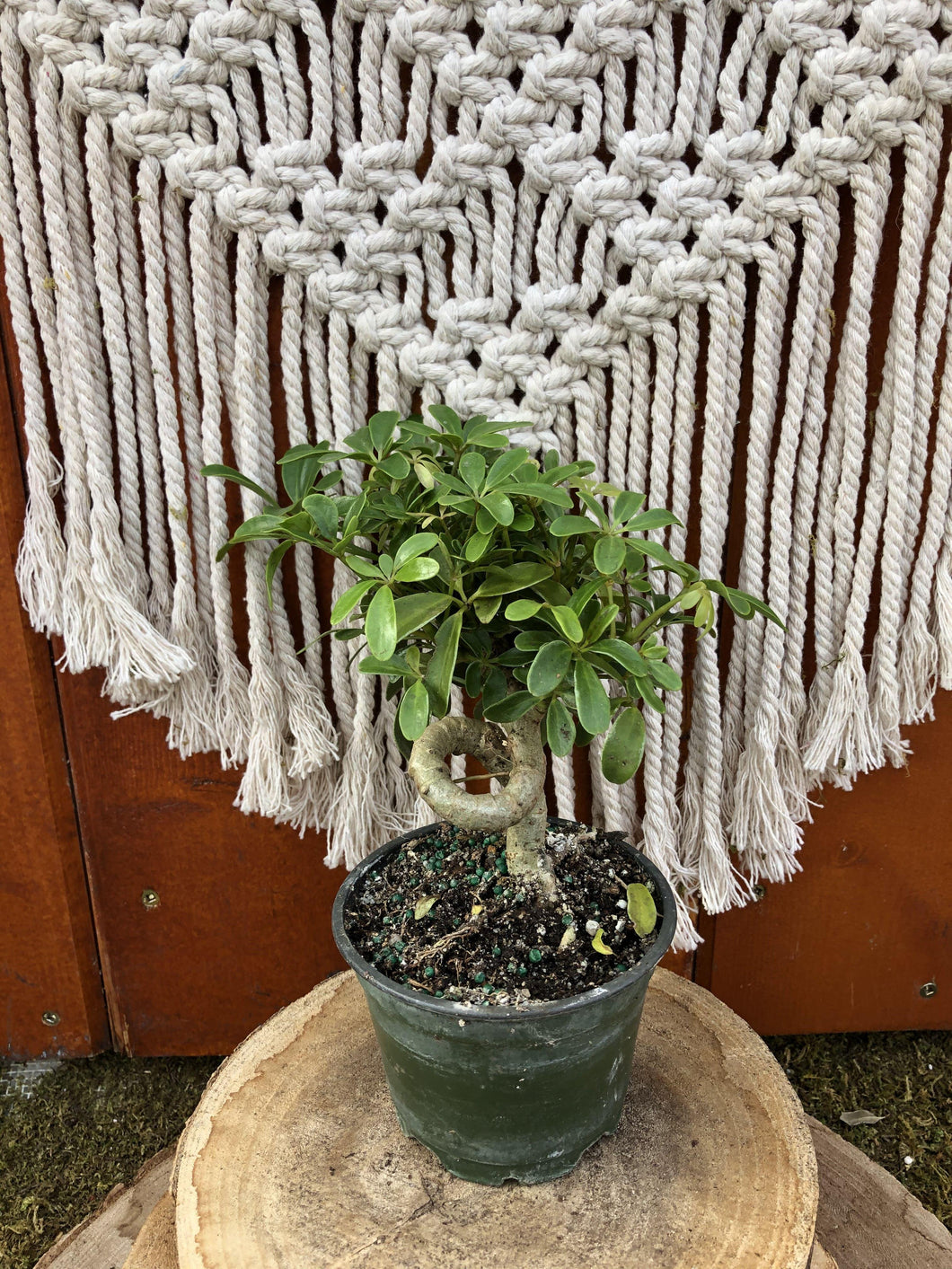 Schefflera, 4in, Coiled Trunk - Floral Acres Greenhouse & Garden Centre