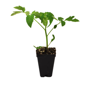 Tomato, 2.5in, Potted