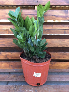 ZZ Plant, 10in, Zamioculcas Zamiifolia - Floral Acres Greenhouse & Garden Centre