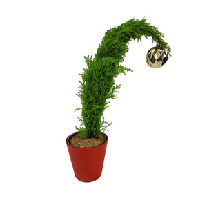 Cupressus, 5in, Grinch Tree w/ Red Pot Cover