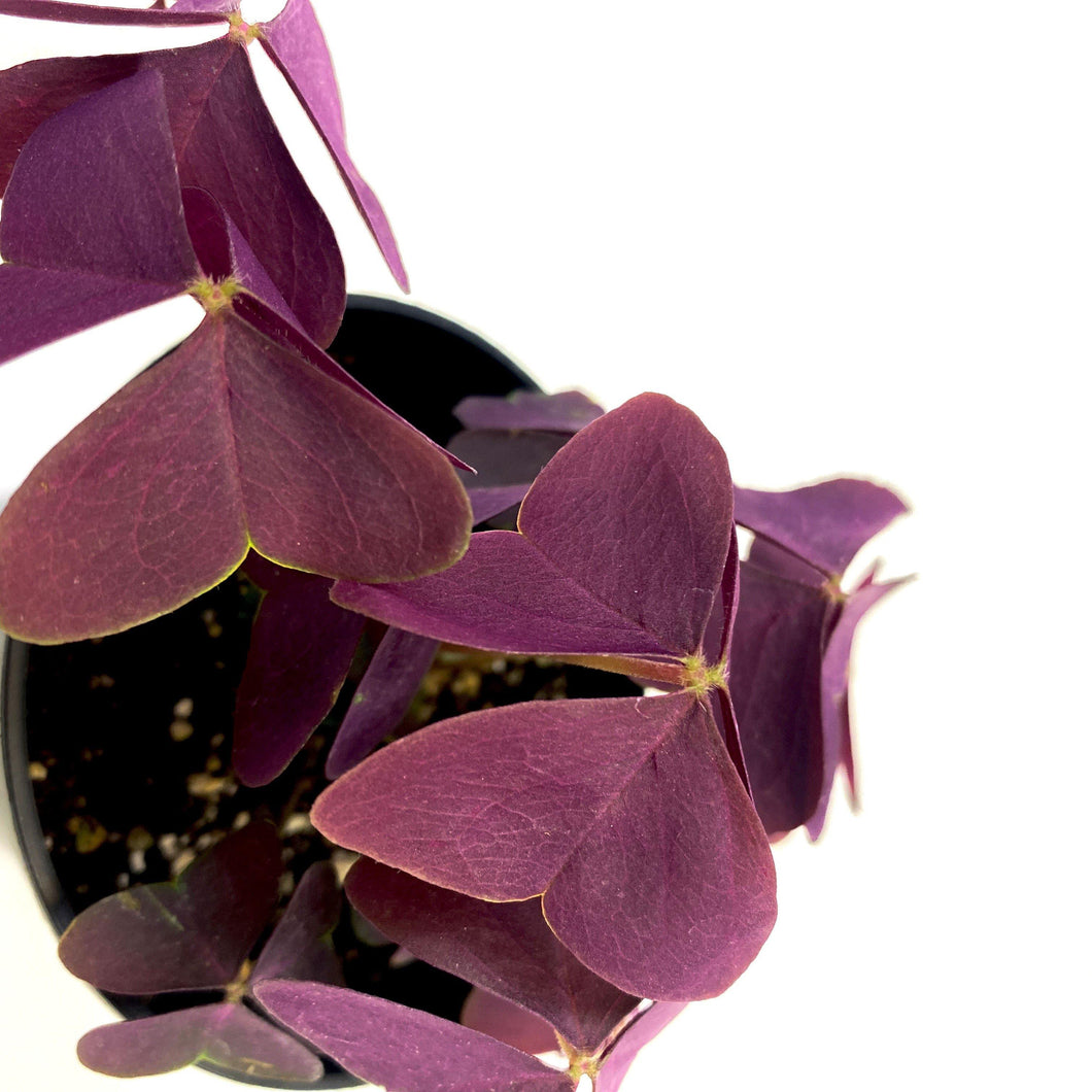 Oxalis, 3.5in, Francis - Floral Acres Greenhouse & Garden Centre
