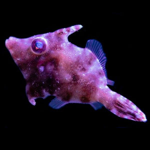 Aiptasia eating filefish MD