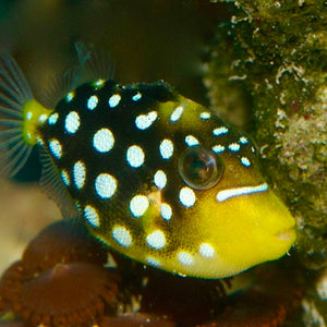 Clown Triggerfish +