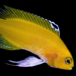 Golden Cuban Basslet White
