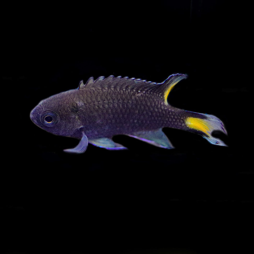 Lyretail Damselfish