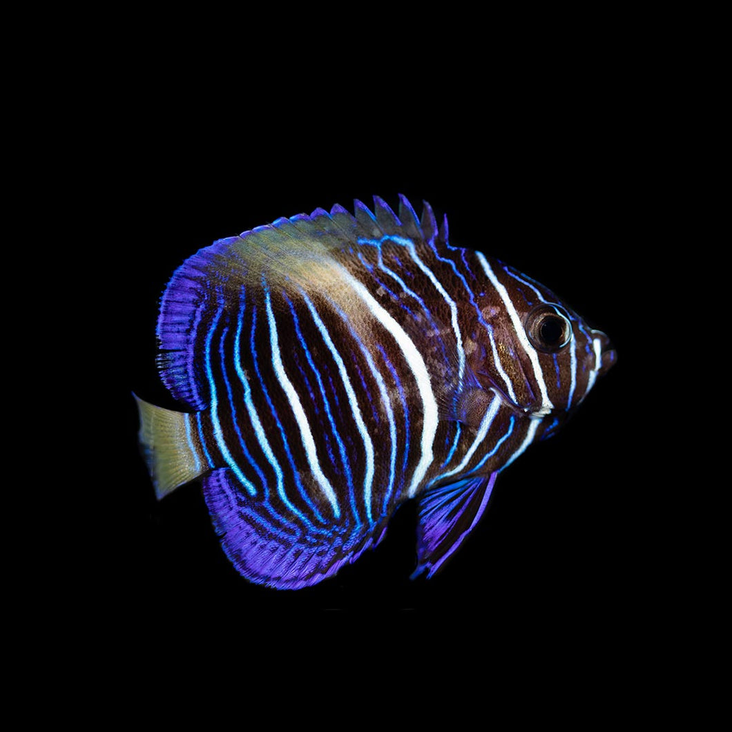 Maculosus Angelfish Each