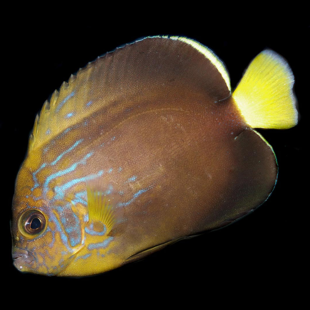 Maze Angelfish Each