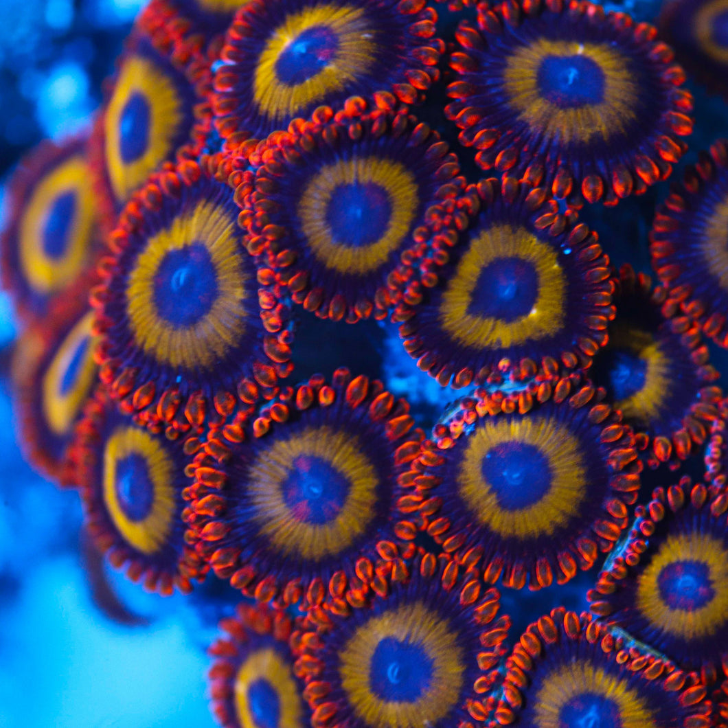 Oompa Loompa Zooanthid Frag