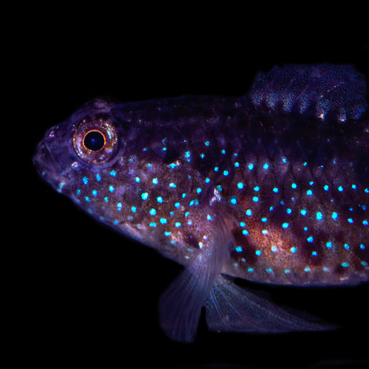 Starry Goby