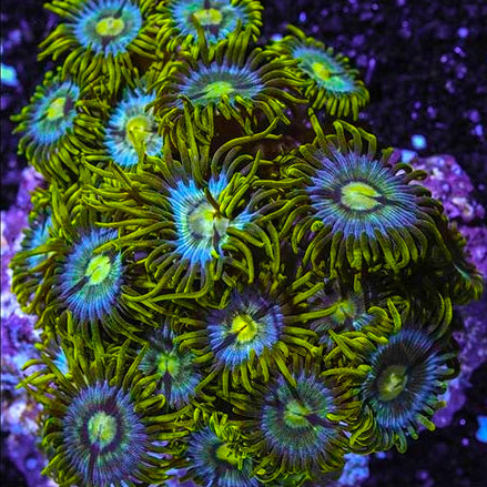 Palau Assorted Zoanthid Diameter