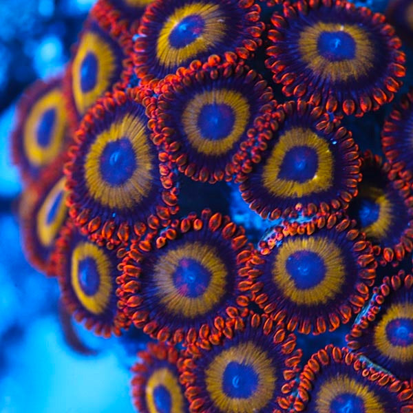Fruit Loop Zoanthid Per Polyp