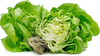 Boston Bib Lettuce