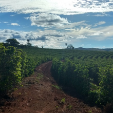 Load image into Gallery viewer, Brazil coffee plantation, coffee trees