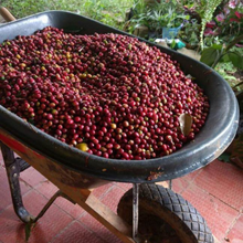 Load image into Gallery viewer, Colombia Santander coffee cherries before being pulped