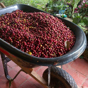 Colombia Santander coffee cherries before being pulped