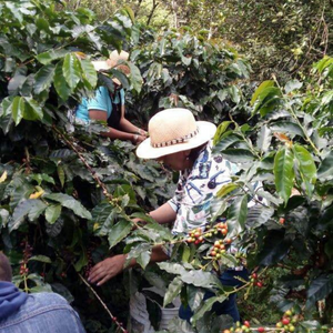 Colombia Santander women picking coffee cherries