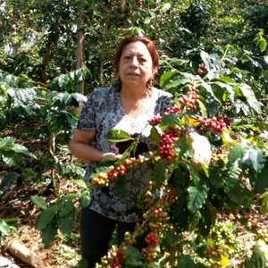 Colombia Santander ripe coffee cherries on coffee cherry