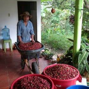 Colombia Santander coffee cherries being gathered and sorted by women's co-op