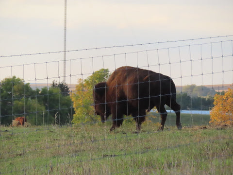 bison in a field behind and electric fence