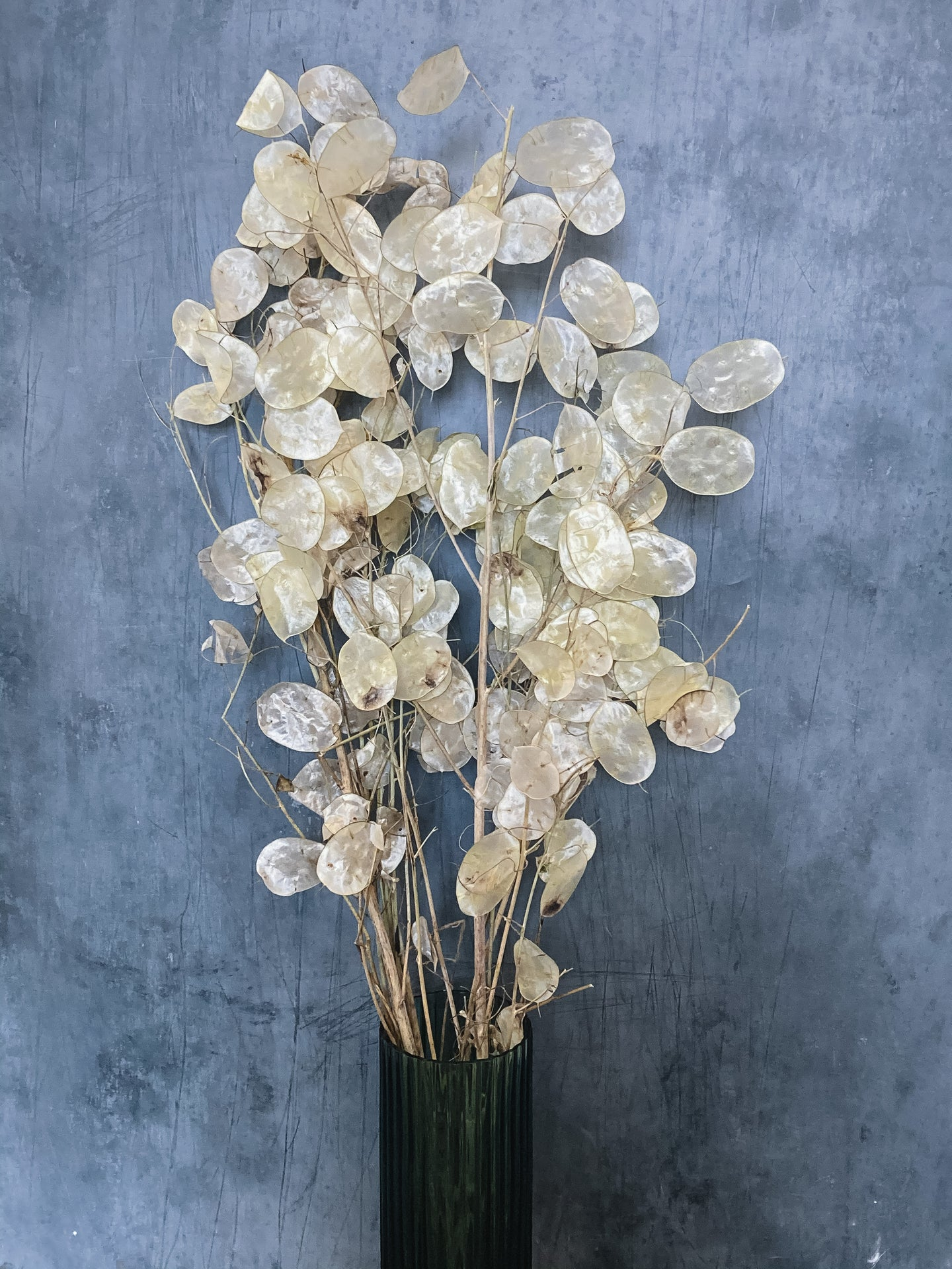 Dried Lunaria Honesty