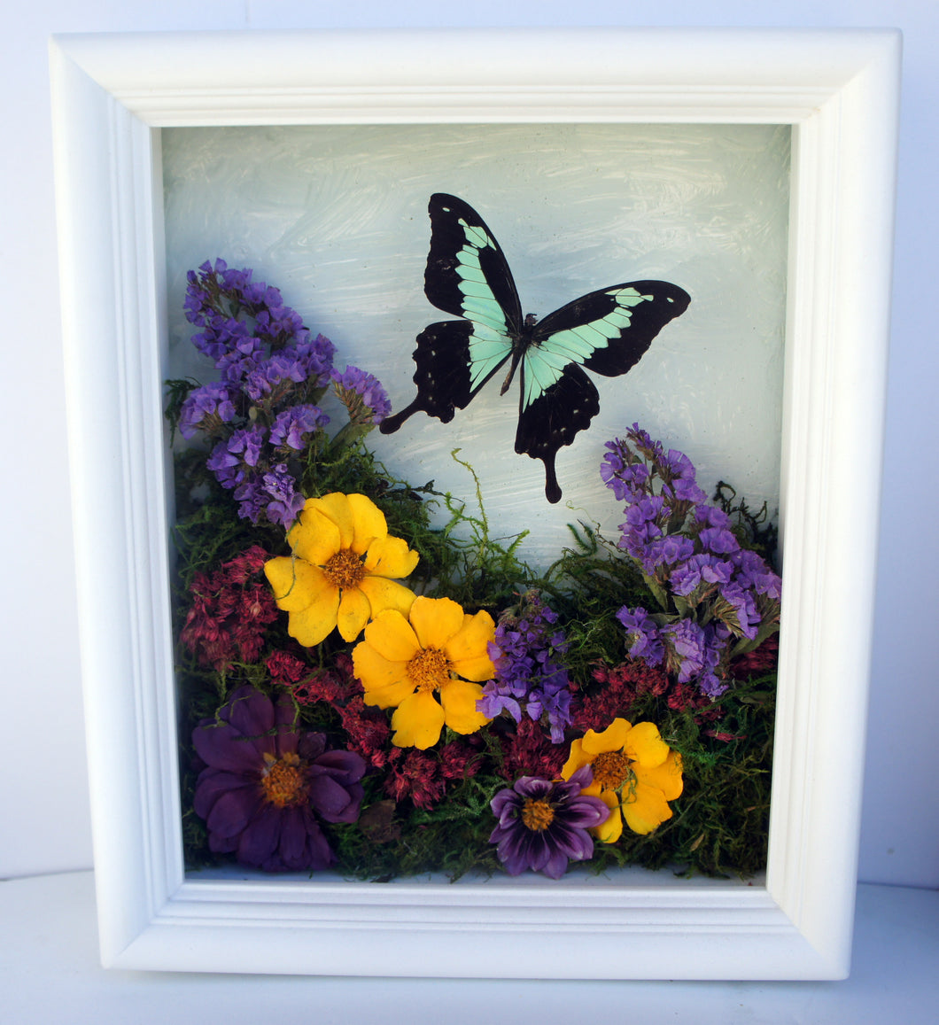 8x10 Flower Shadow Box with Papilio Phorcas