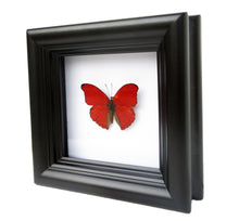 Load image into Gallery viewer, 4x4 Real Butterfly Taxidermy - Cymothoe Sangaris